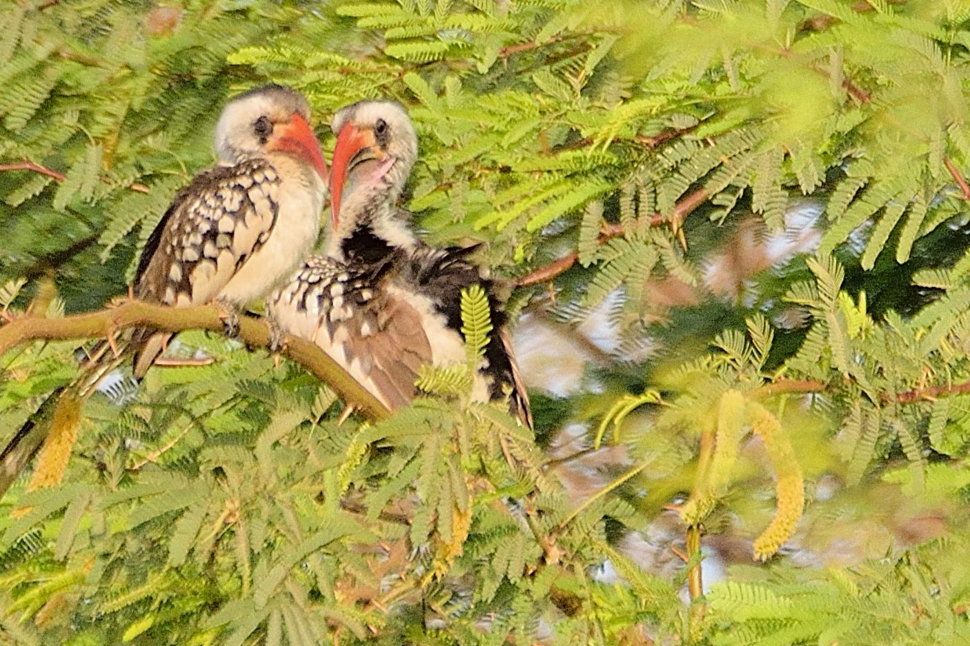 Couple de Calaos Occidentaux (Western red-billed Hornbill, Tockus Kempi)