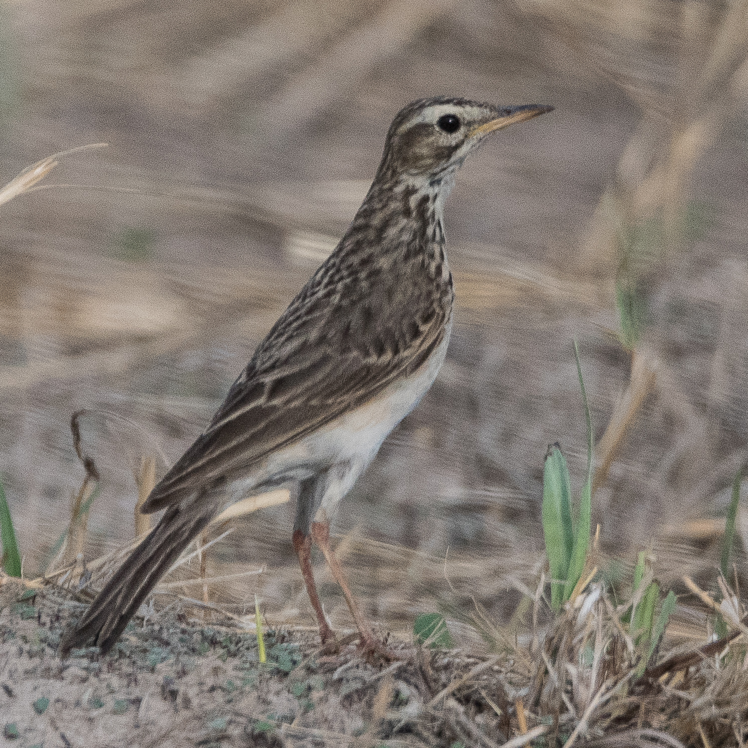 Pipit Africain (African pipit, Anthus cinnamomeus), Chobe National Park, Botswana.