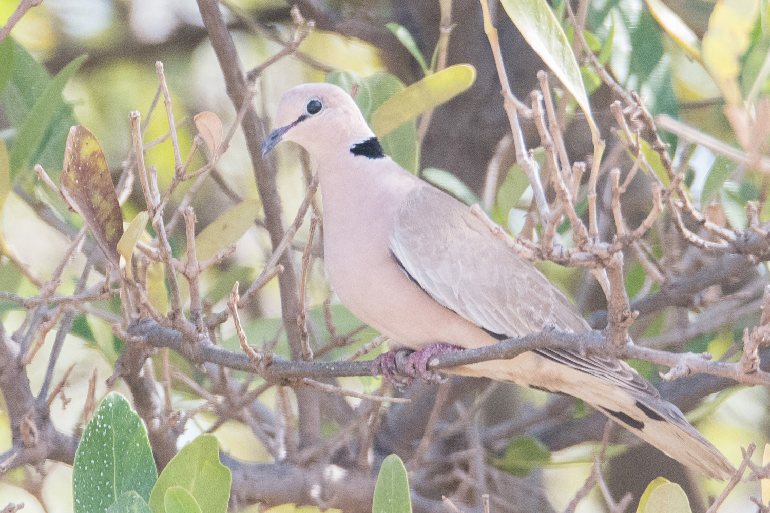 Tourterelle Vineuse (Vinaceous Dove, Streptopelia Vinacea), Sénégal